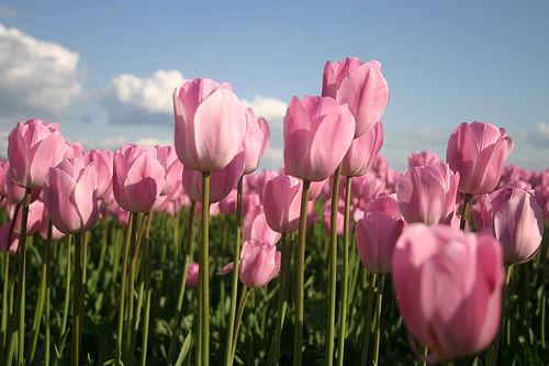rosa tulipanar